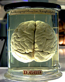 220px-Chimp_Brain_in_a_jar