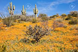 Image result for sonora poppies
